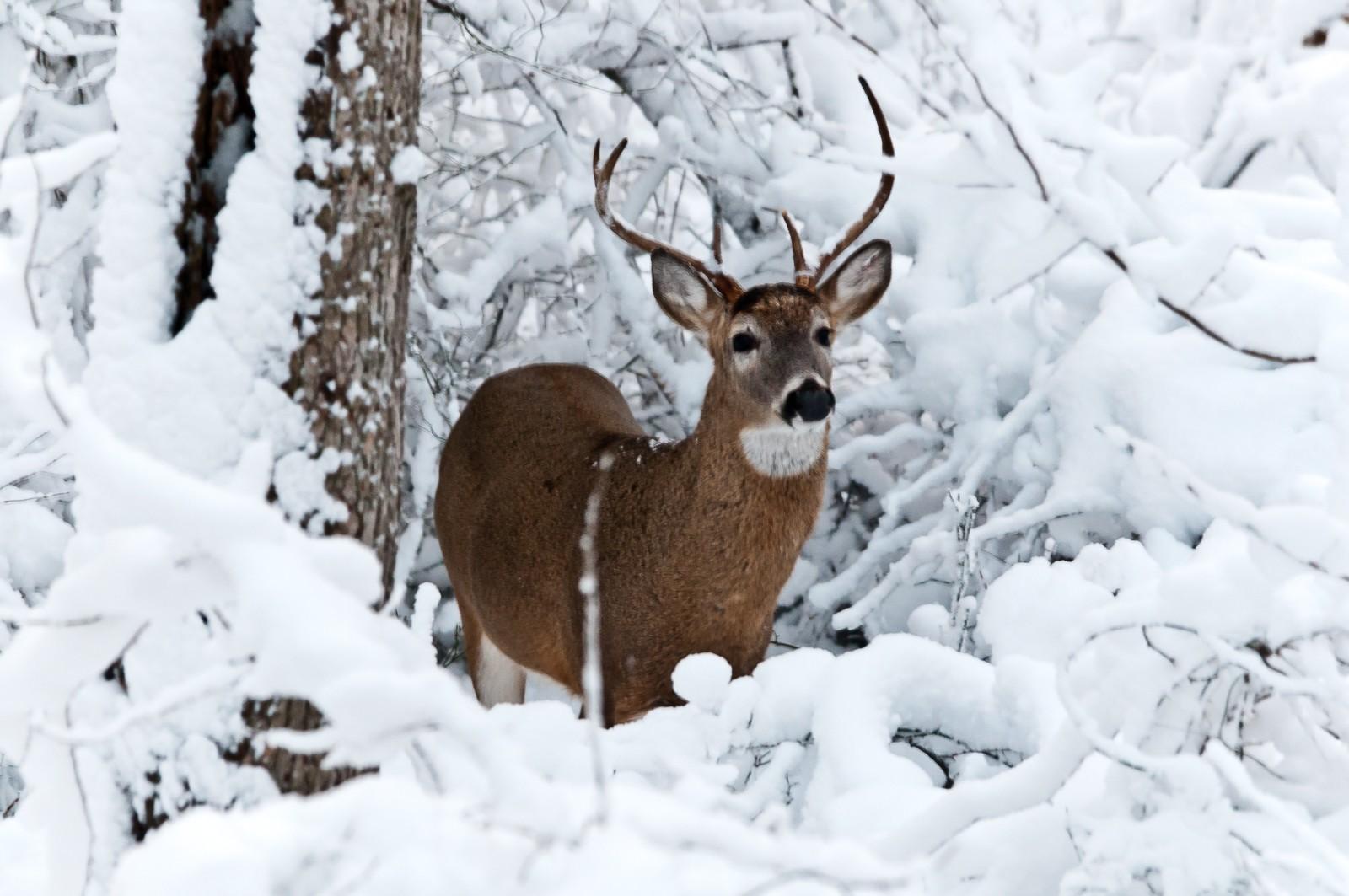 deer-buck-4322