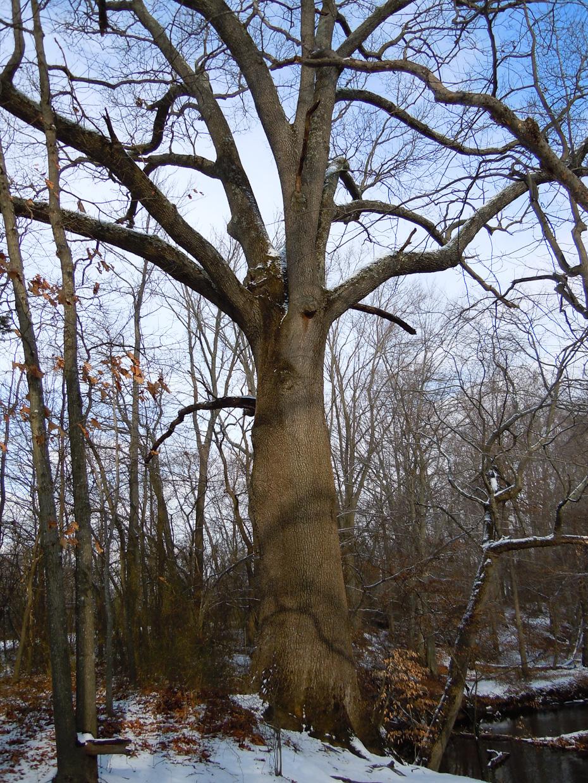 tree-medford-dscn0119