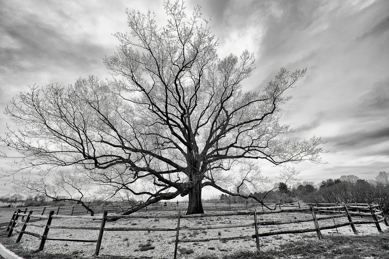 old-oak-tree