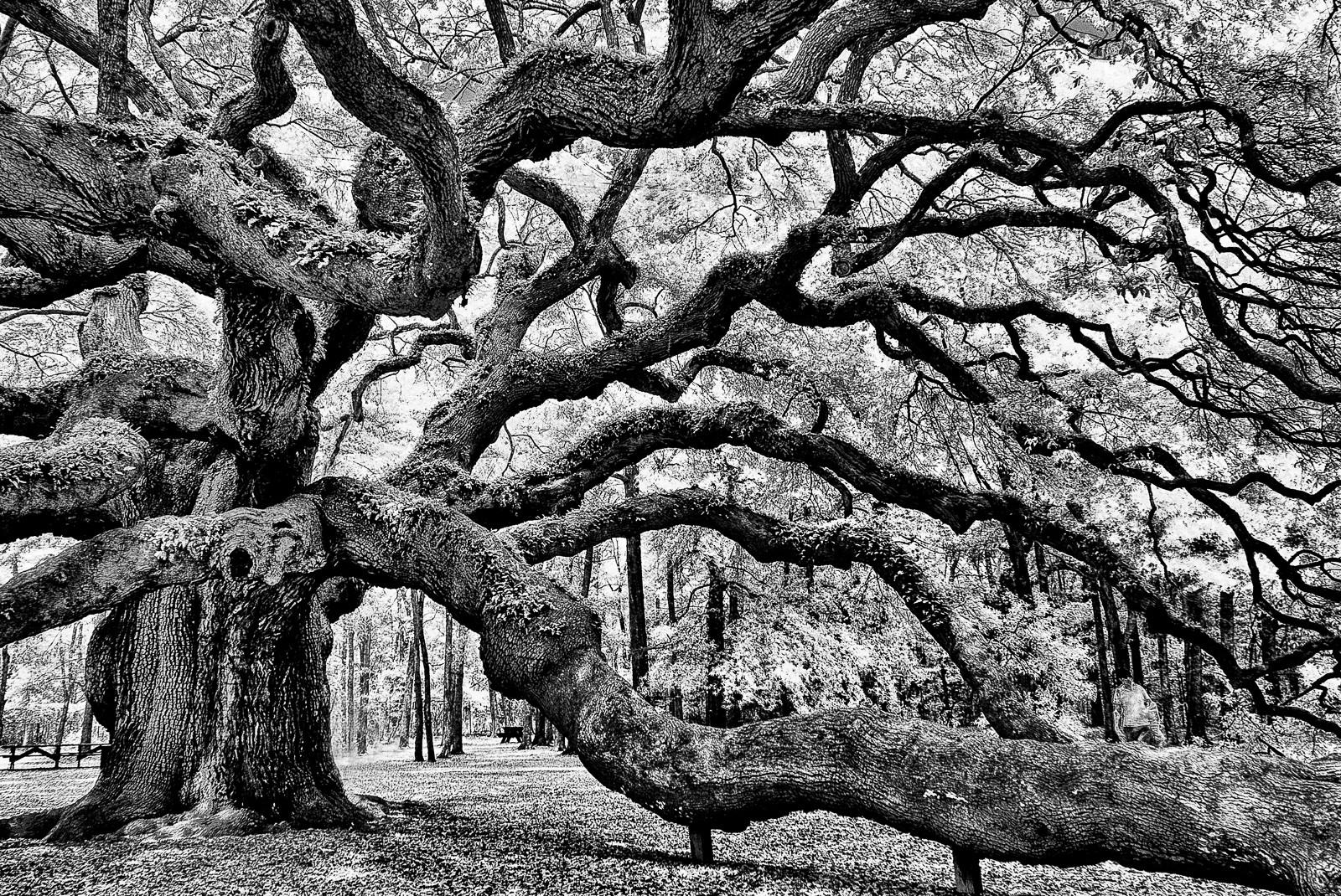 angel-oak-0759