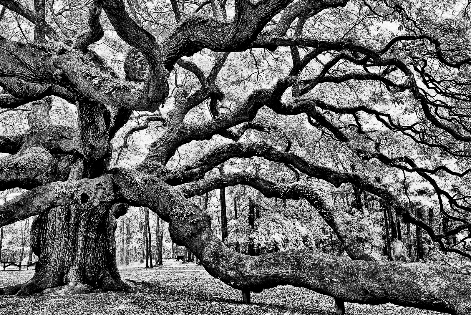 angel-oak-0759