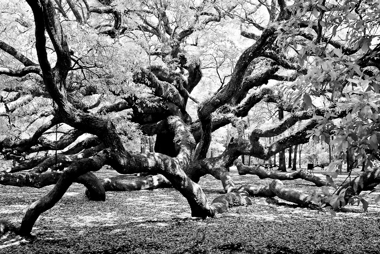The Awesome Angel Oak Tree in IR