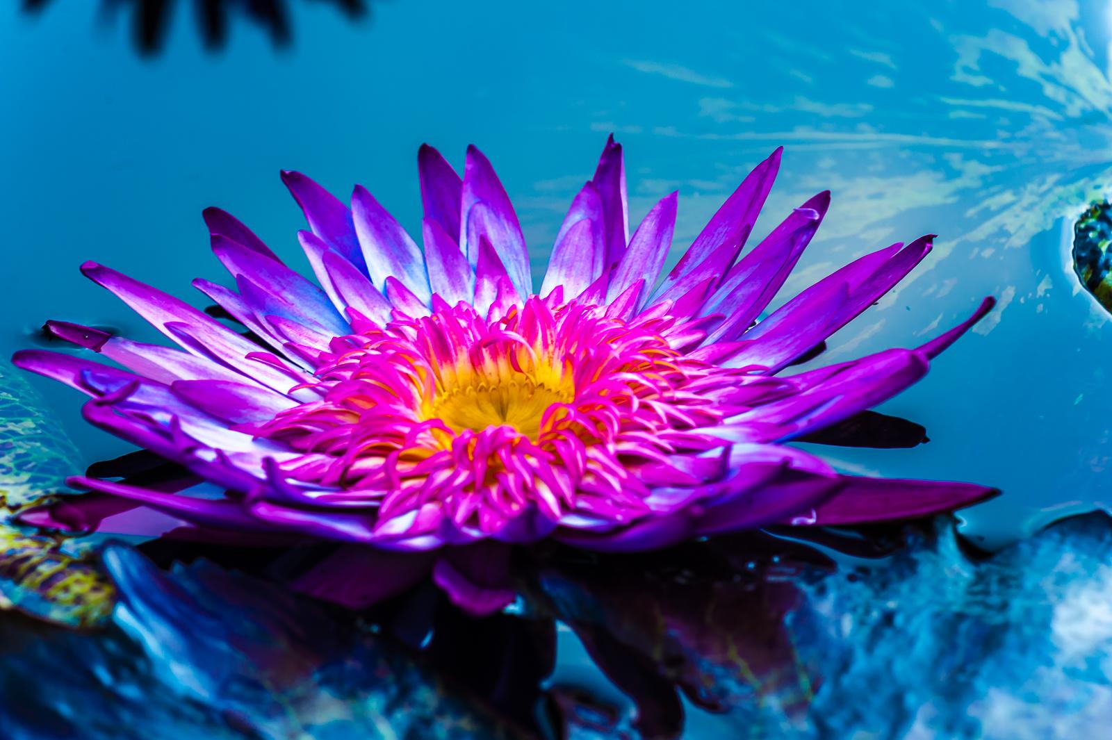 purple-water-lilies-1253