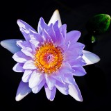 water-lilies-1221 photograph