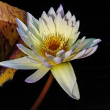 water-lilies-1233