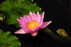 water-lilies-3731
