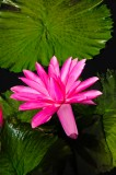 water-lilies-3739