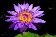 water-lilies-3745