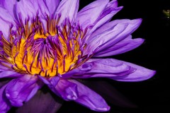 water-lilies-3747