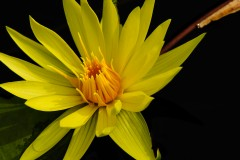 water-lilies-3755