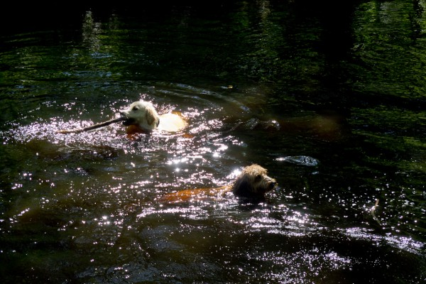 Dogs-Honey and Cody swiming in the river
