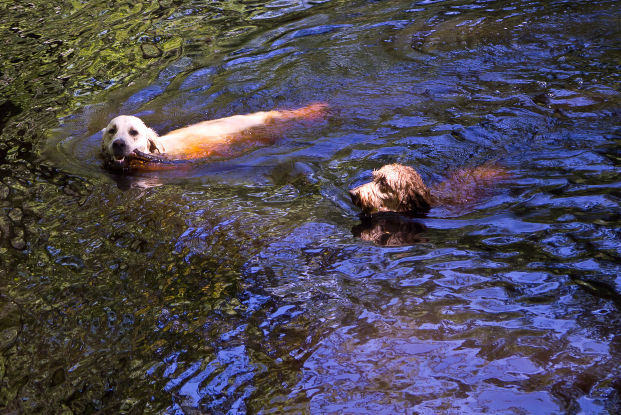 Dogs-Honey and Cody swiming in the river with the stick