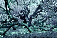 Infrared Angel Oak