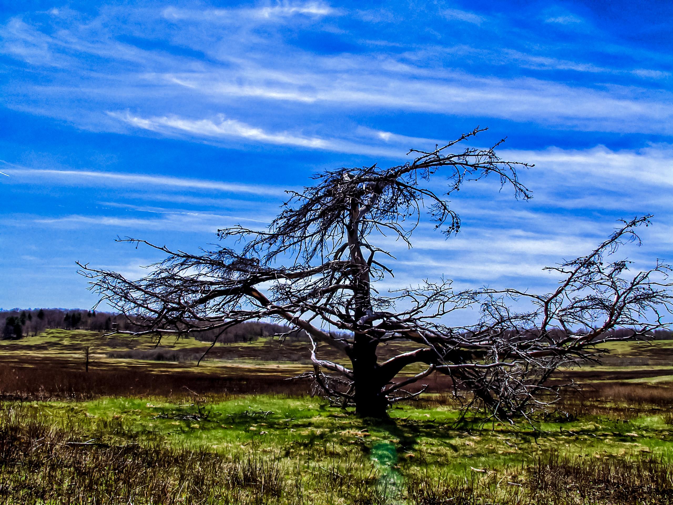 Tree at Big Meadows