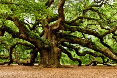 mystical-angel-oak-tree-9574