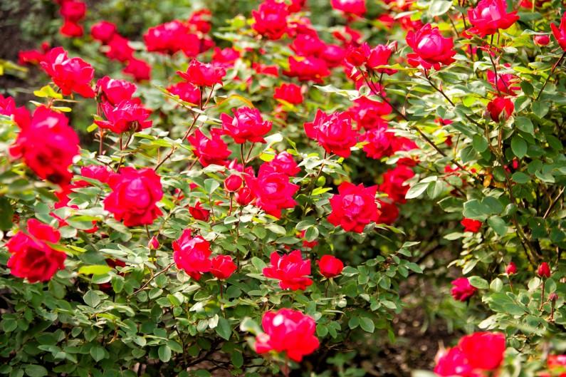 red-rose-garden-4160