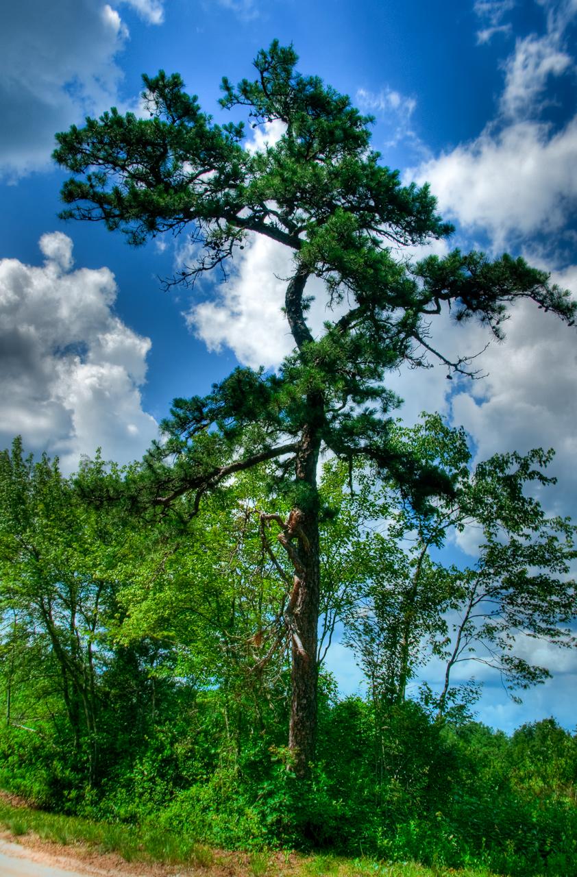 pine_tree-whites-bog-83