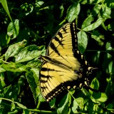 Monarch butterfly-photo