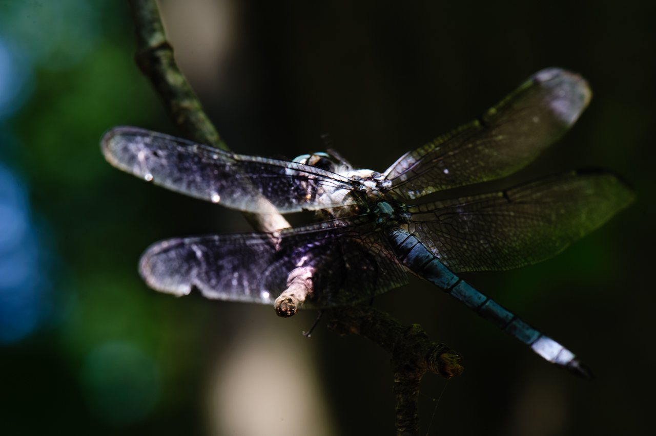 dragon-fly-5347