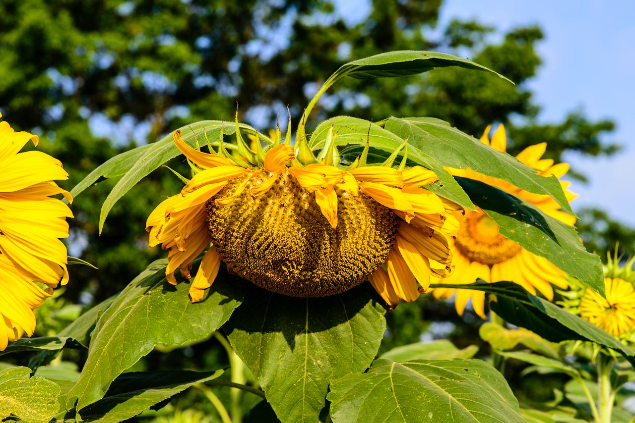 sunflower-0204