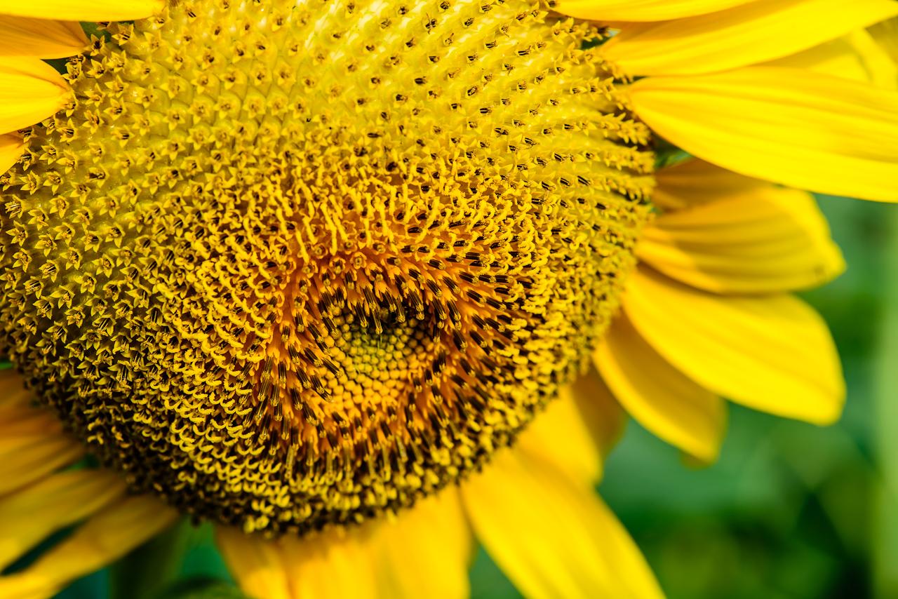 sunflower-0211
