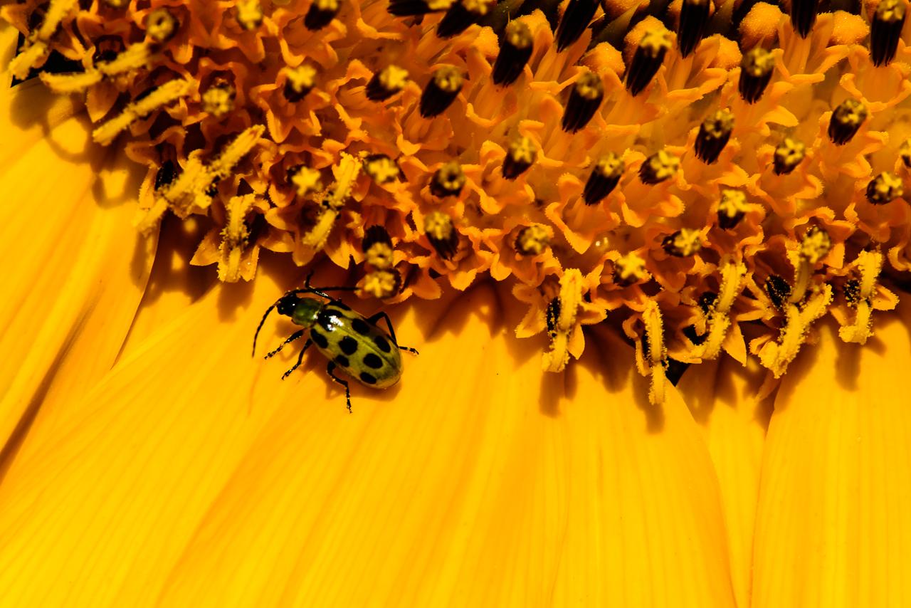 sunflower-0217