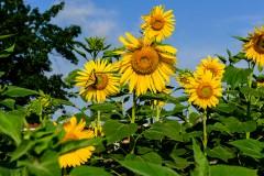 sunflower-0238