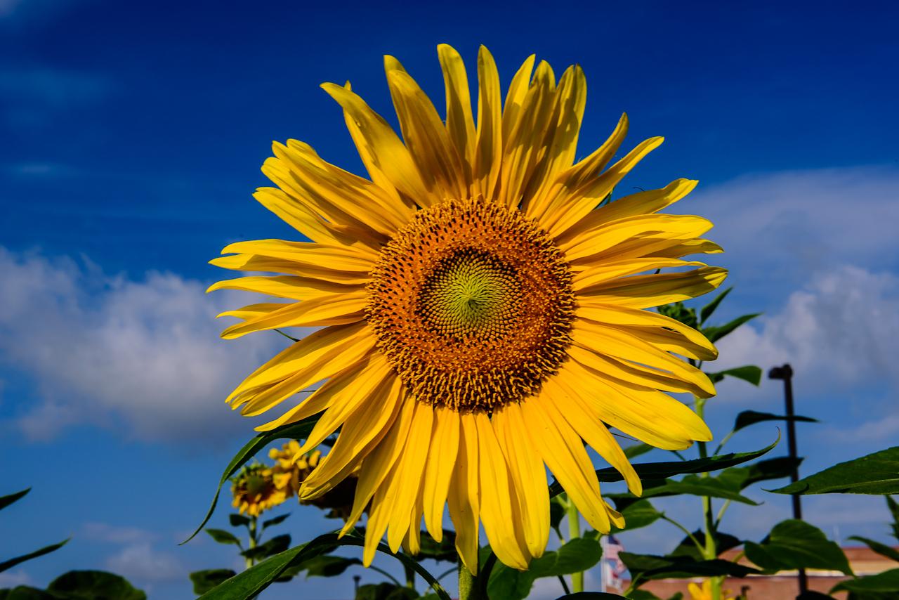 sunflower-0249