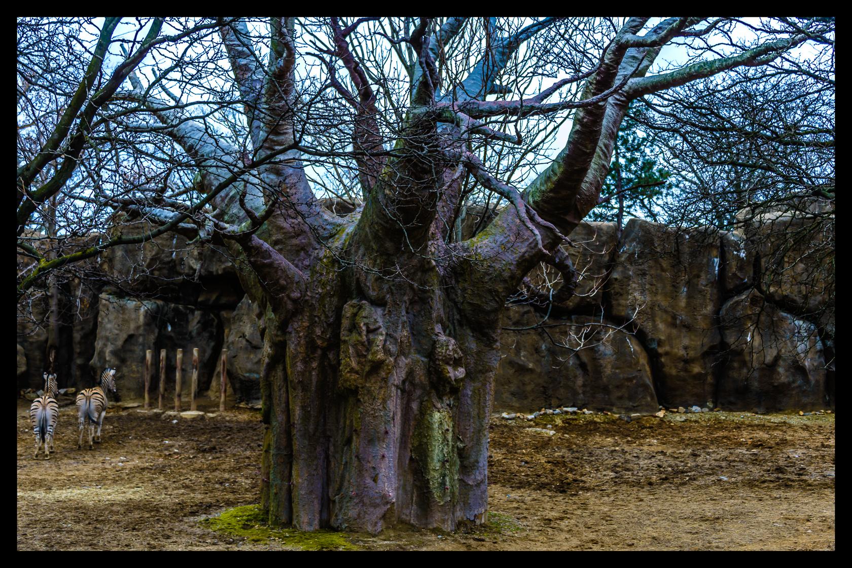 giant baobab tree