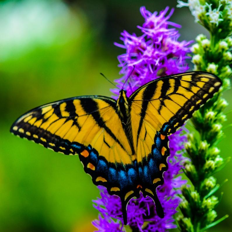 yellow monarch bufferfly-3174