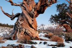 Methuselah - oldest tree