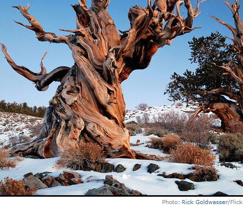 Methuselah - oldest tree