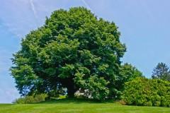 chanticleer-tree