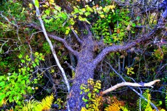 Pine Tree Pine-lands