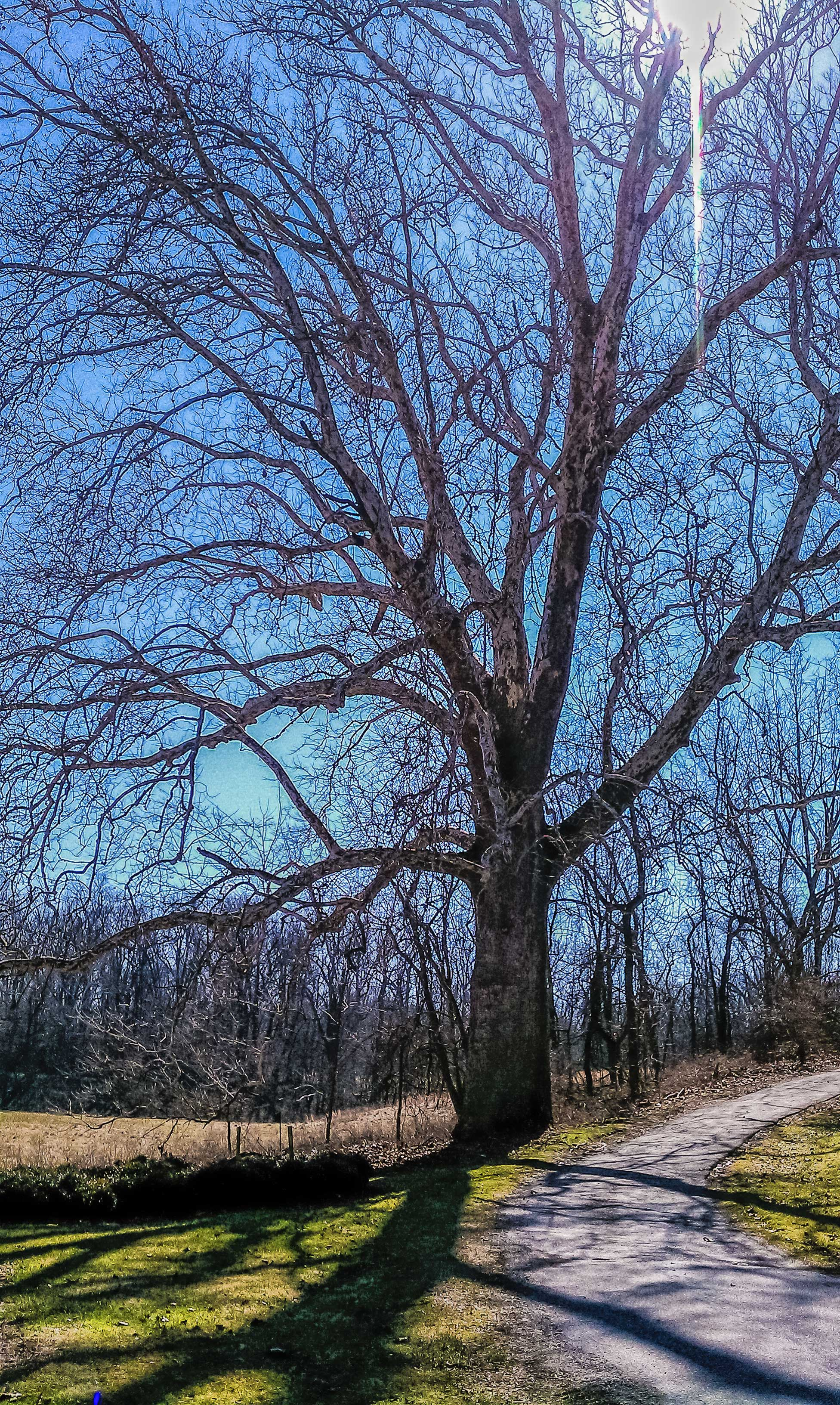 valley-forge-tree