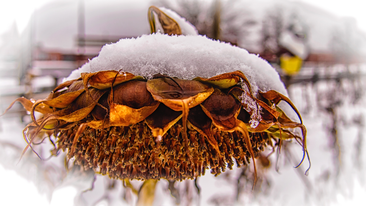 sunflowers-snow
