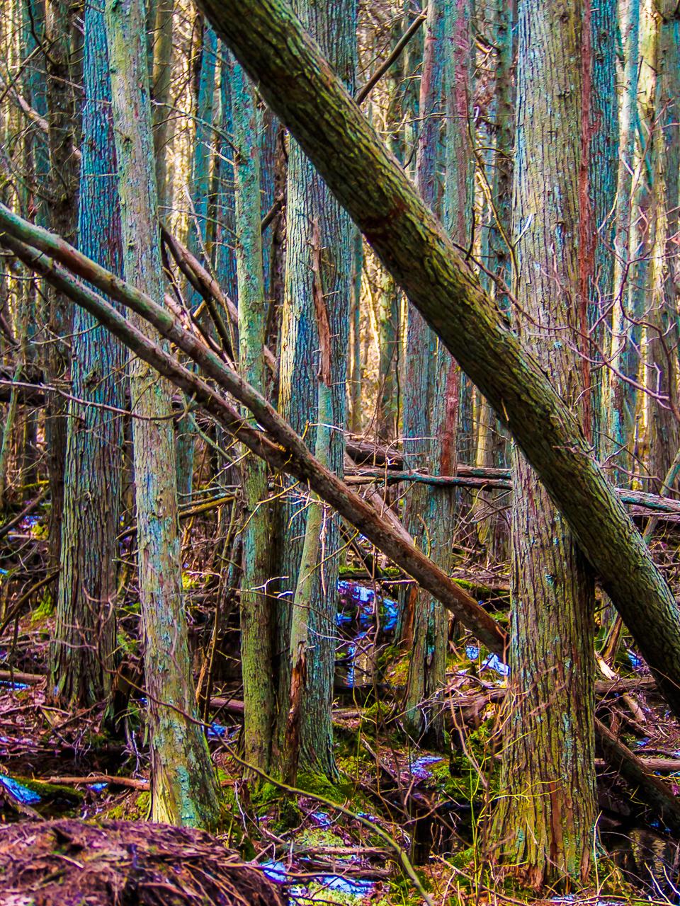 Photograph of a Pinelands-cedar-swamp