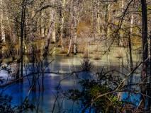 frozen pineland trees