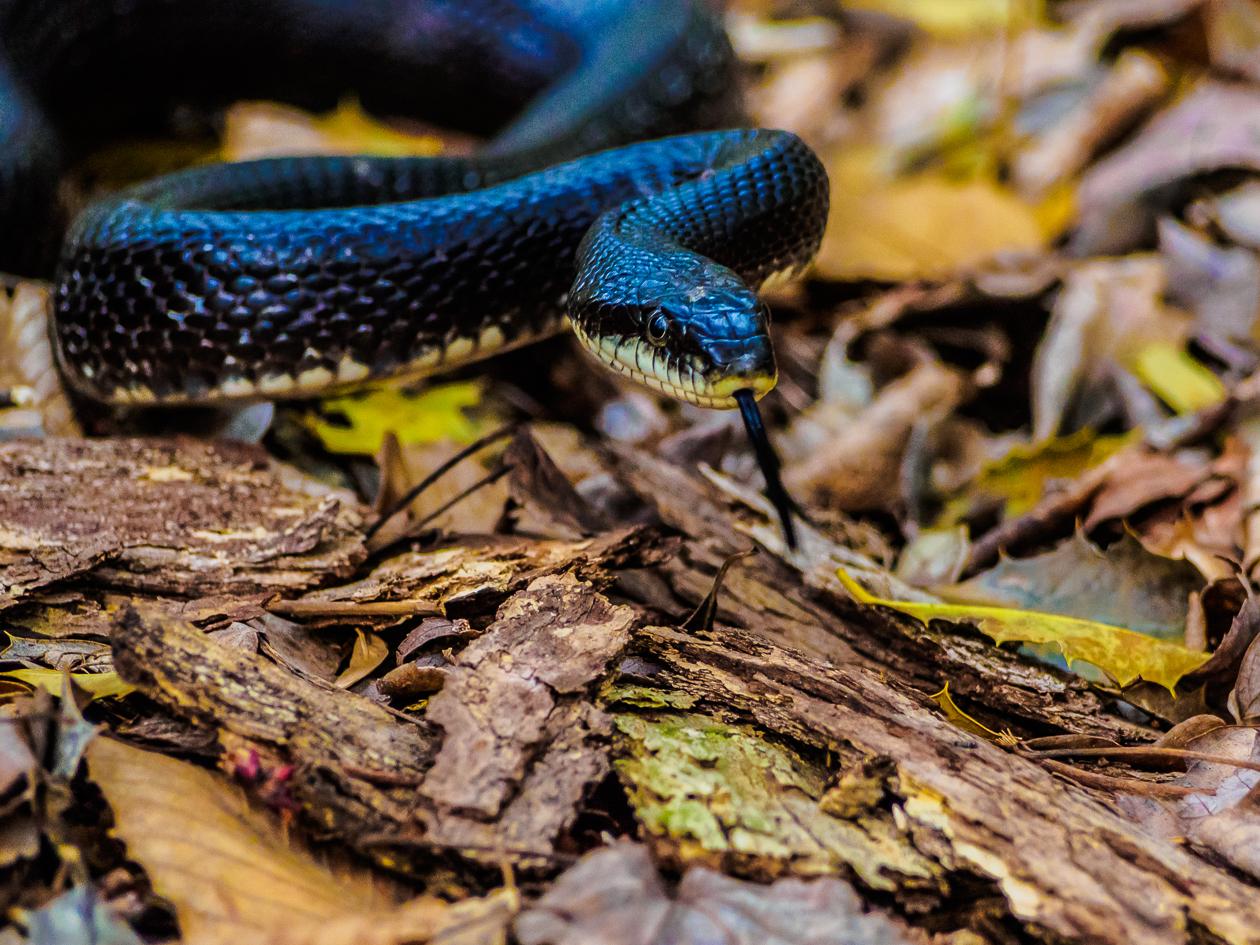 rat-black-snake-4220088