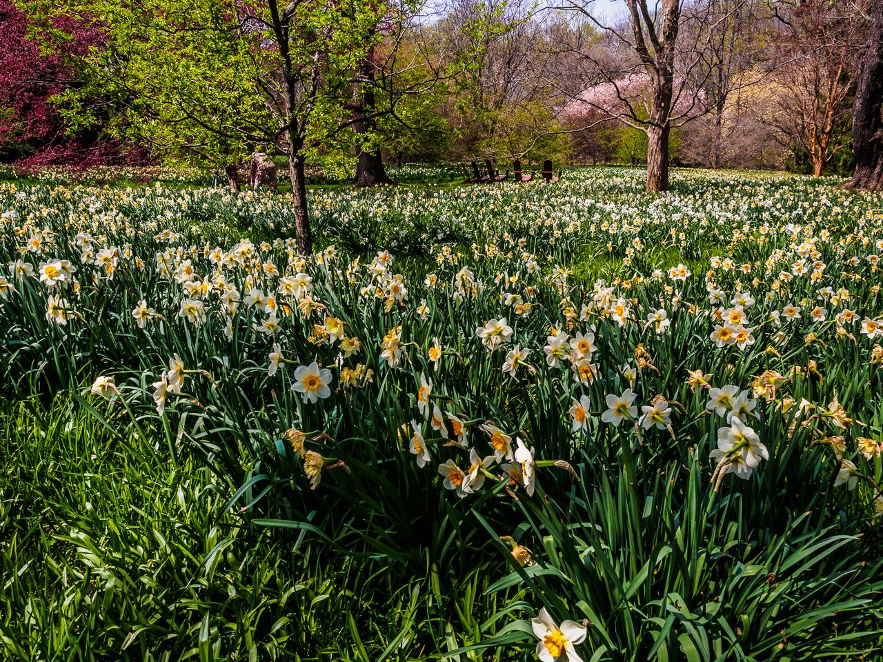 Chanticleers field of daffodils flowers photograph