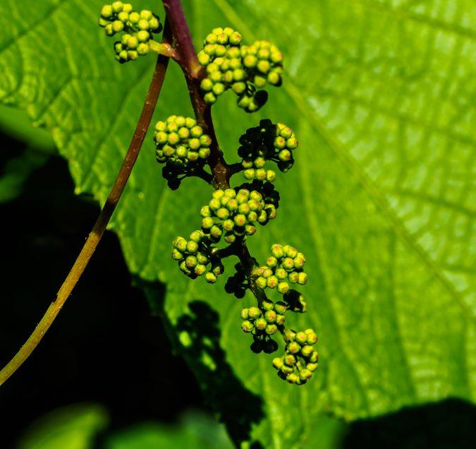 grape-buds-6070895