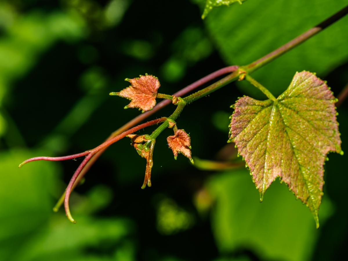 grape-buds-6070896