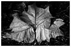 leaf-sycamore
