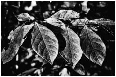 leaf--7