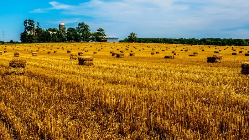 wheat-field-1801