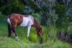 assateague-pony-3