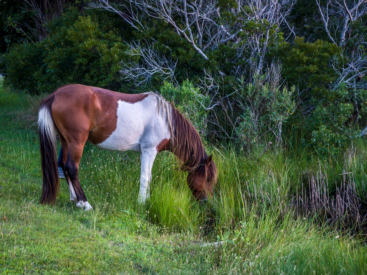 assateague-pony-3