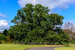 Brearley Oak-2
