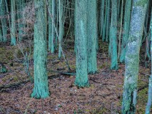 Photograph of a Cedar bog at Frogs-Pond
