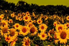 sunflowers-3143